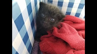 Download A Woman Found This Furball Crying In Her Backyard – But He Grew Into A Mighty Panther Cat Video