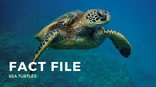 Download Facts about the Sea Turtle Video
