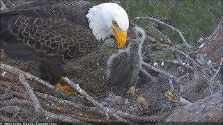 Download AEF–NEFL Eagle Nest – Peace (NE16) bonks Dad Romeo who, tired, leaves the nest Video
