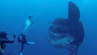 Download DIVERS ENCOUNTER GIANT FISH Video
