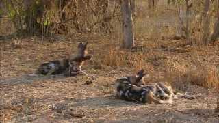 Download Гангстеры дикой природы - Дикие собаки Video