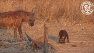 Download Hyena mum rounding up her cub Video