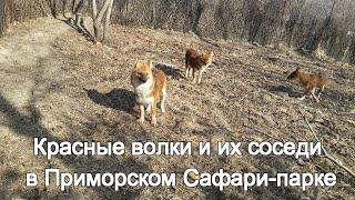 Download Красные волки и их соседи в Приморском Сафари-парке Video