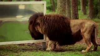 """Download """"Wie reagieren Löwen wenn sie sich selbst im Spiegel sehen?"""" Der Serengeti-Park zeigt es! Video"""