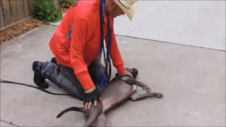 Download Side-Submitting Dominant Pit Bulls & Power Breeds - Dog Whisperer BIG CHUCK MCBRIDE Video
