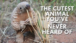 Download Pangolins are the Cutest Animals You've Never Heard Of Video
