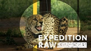 Download Cheetah Matchmaking: Helping Big Cats Find A Mate | Expedition Raw Video