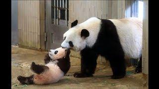 Download Cute Animals - Cute Baby Panda Videos Compilation - Soo Cute #2 Video
