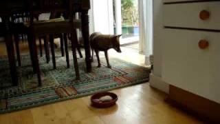 Download London fox visiting Video