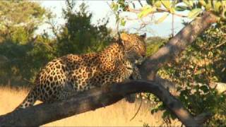 Download Leopards in Sabi Sand, South Africa Video
