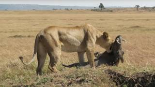 Download MVI 2493 lion killing warthog 4 Video