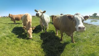 Download 360° Getting Licked by a Cow in Ireland 4k Video