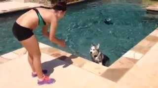 Download Husky puppy's first time swimming Video