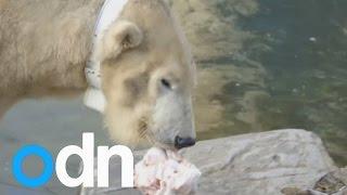 Download San Diego Zoo polar bear Tatqiq wears a collar for research Video