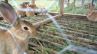 Download Rabbit farming is an emerging but profitable business Video