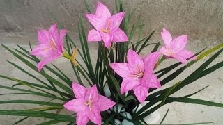 Download ABC TV | How To Make Rain Lily Paper Flowers From Crepe Paper - Craft Tutorial Video