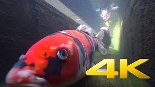 Download Swimming with the Koi - 錦鯉 - 4K Ultra HD🐡 🗾 🇯🇵 Video