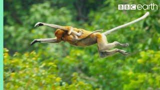 Download Proboscis Monkeys Leap Into Crocodile-Infested River | BBC Earth Video