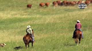 Download Cowboys of Nebraska - Cattle Drive at Bowring Ranch from Above (HD) Video