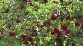 Download Slovak apple garden Video