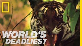 Download Tiger vs. Monkeys   World's Deadliest Video