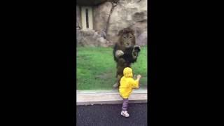 Download Lion attempts to POUNCE on little boy but slams into the enclosure glass [FULL VIDEO] - ORIGINAL Video