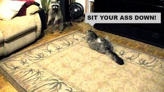 Download RacCoon in da house! Maine Coon Kosmo wasn't too pleased... Video