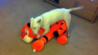 Download Jack English Bullterrier humps tiger toy. Video