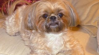 Download Woman Outraged After Spending $1,750 For Shorkie That DNA Test Says Was a Mutt Video