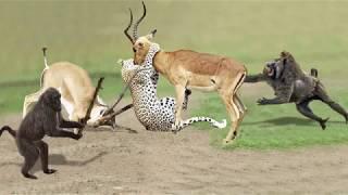 Download Amazing Baboon Save Impala From Leopard Jumps Tall Tree To Ambush | Leopard Hunting Fail Video