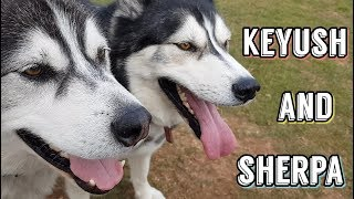 Download Sherpa and Keyush | Husky playtime | Dog Best Friend Goals Video