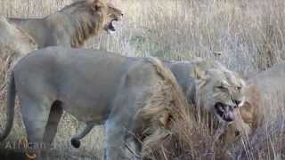 Download Young lion coalition at Khwai Tented Camp, Botswana Video