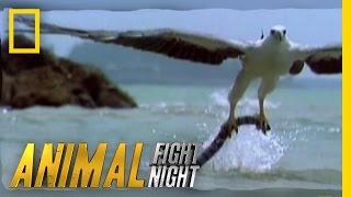 Download Sea Eagle vs. Sea Snake | Animal Fight Night Video