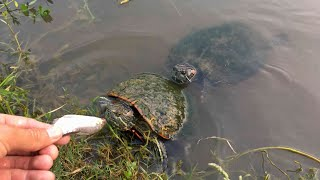 Download The Turtles Are Back! Video