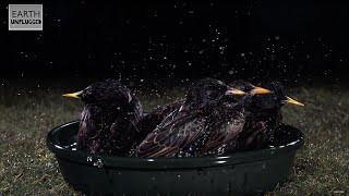 Download Ultimate Slow Motion Bird Bath (European Starlings) - Slo Mo #10 - Earth Unplugged Video