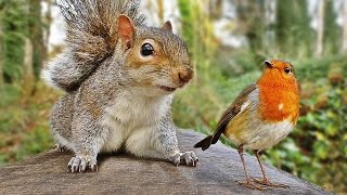 Download Video for Cats - Squirrel and Robin Fun Video