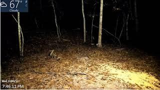 Download Live Deer Cam SE Ga. ″Intruder Alert″ 12-20-17 Video