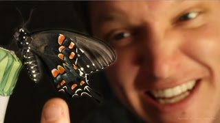 Download Butterfly Farming IS AMAZING - (Full Life Cycle) - Smarter Every Day 96 Video