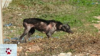Download Rescue and transformation of a wild, sick and starving dog Video