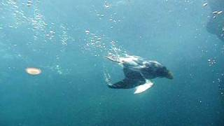 Download Slow motion of puffins swimming underwater at living coasts torquay Video
