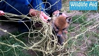 Download Baby fox completely tangled in football net Video