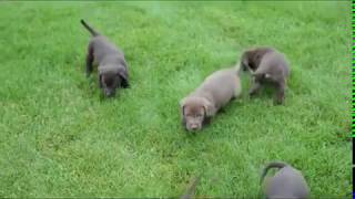 Download Chocolate Lab Puppies for Sale Video