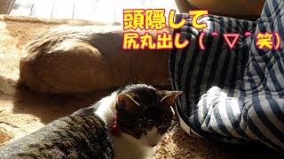 Download 朝のお見送りで小さな事故が起きた【猫日記こむぎ&だいず】2017.01.19 Video