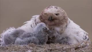 Download Snowy Owl Video