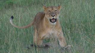 Download The Lion and The Warthog Video