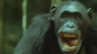 Download Chimps Hunt and Eat A Monkey | Trials Of Life | BBC Earth Video