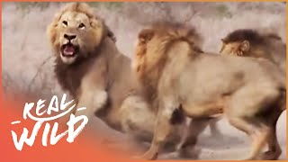 Download Caught In Act [Wild Animal Documentary] | Wild Things Video