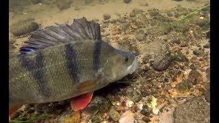 Download MONSTER Perch Devour Live baits! Under Water Video