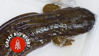 Download Why We're Hell-Bent on Saving These Giant Salamanders Video