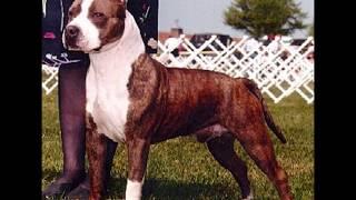 Download American Staffordshire Terrier (Amstaff) Vs. Staffordshire Bull Terrier (comparación entre razas) Video